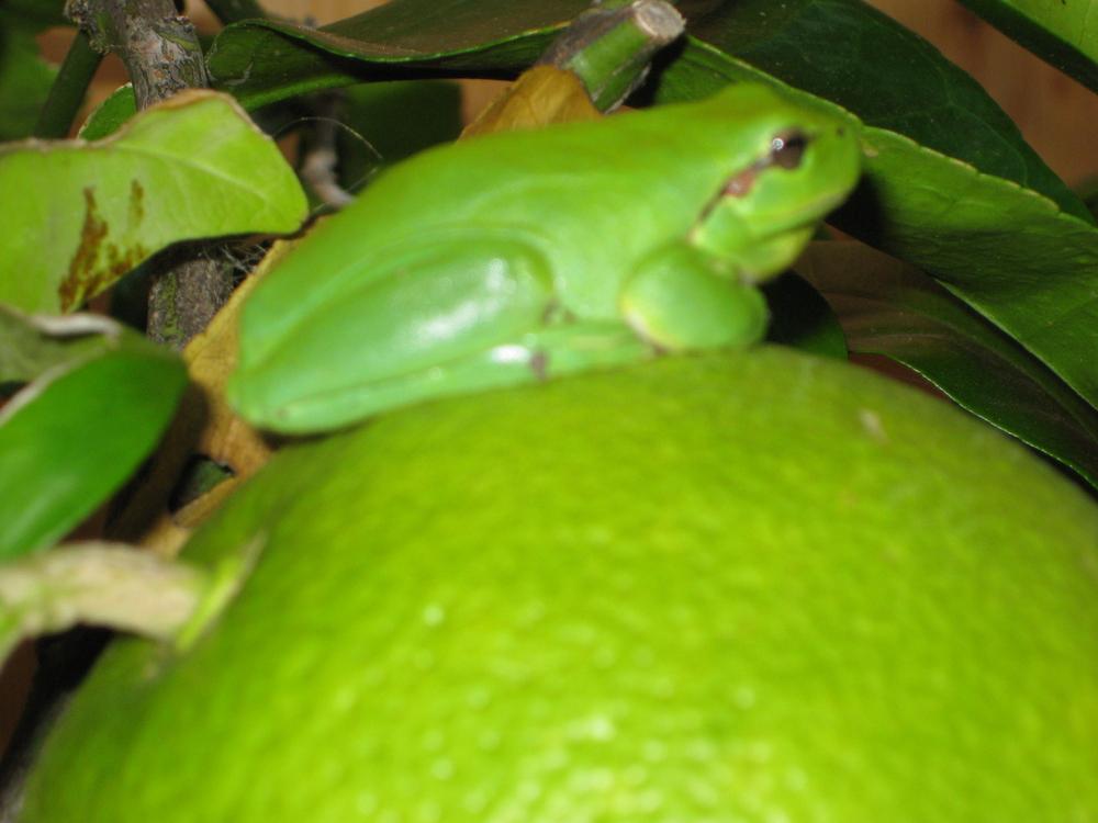 L'orange de la rainette verte
