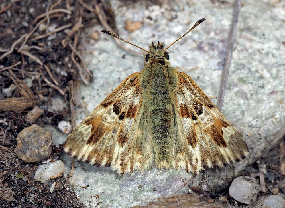 Loreley-Dickkopffalter (Carcharodus lavatherae) - L'Hespérie de l'Epiaire.