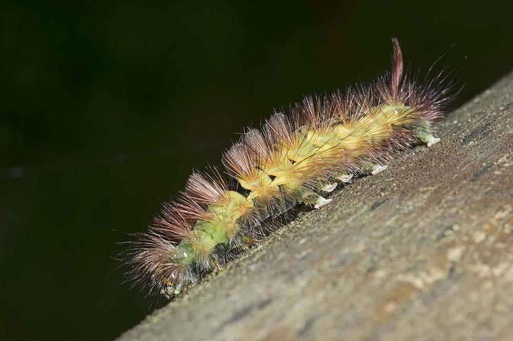 L'Orgye pudibonde (Calliteara pudibunda, famille Erebidae)_1