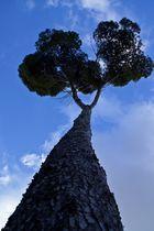 Los árboles de Mallorca