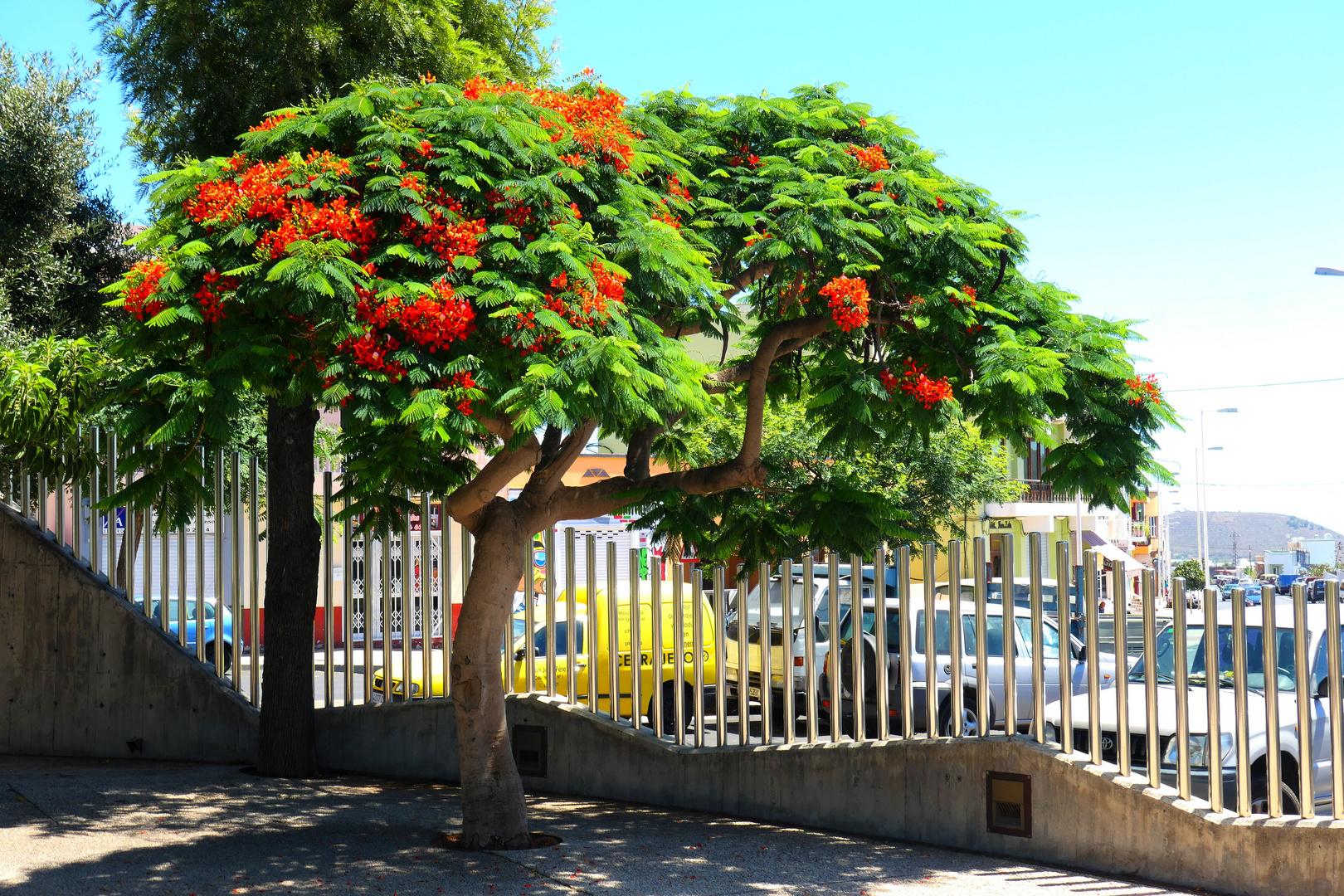 Los Llanos - Parque Antonio Gomez Felipe - Der Flammenbaum - 2019 1