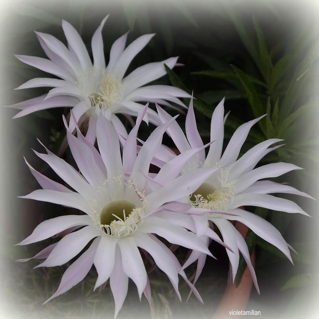 Los pimpollos del Cactus,florecieron