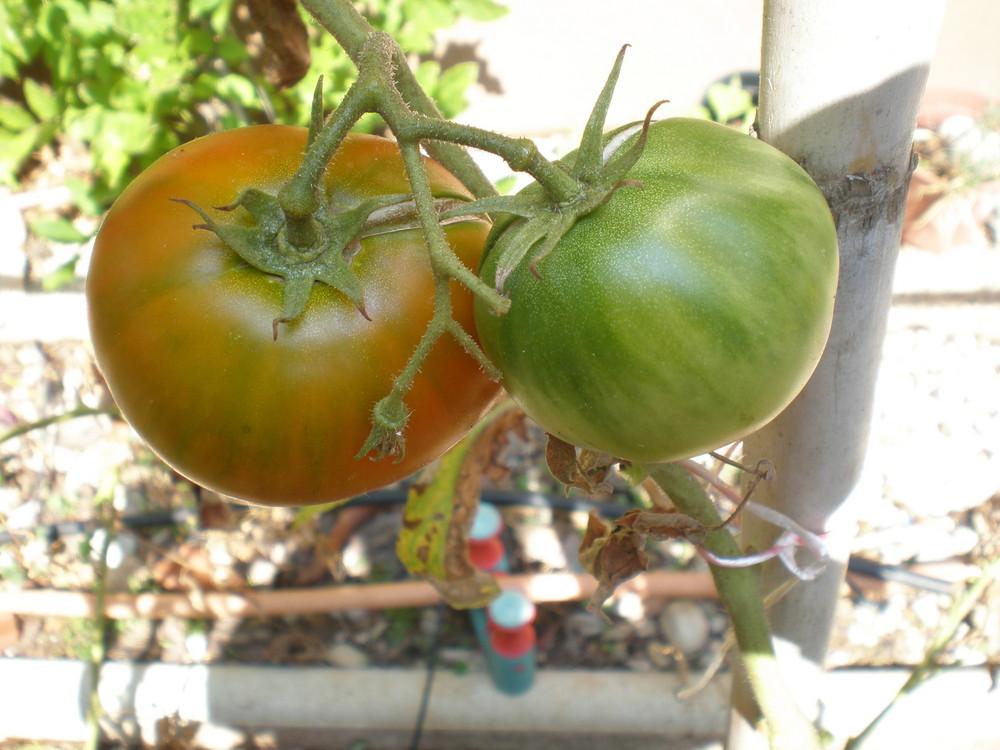 Los tomates de mi huerto