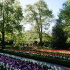 ...los tulipanes...