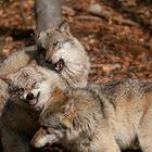 loser or alpha wolf