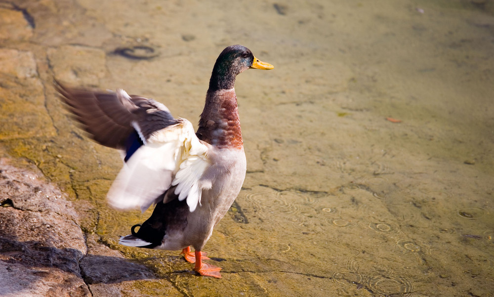 Losfliegende Ente am Bielersee
