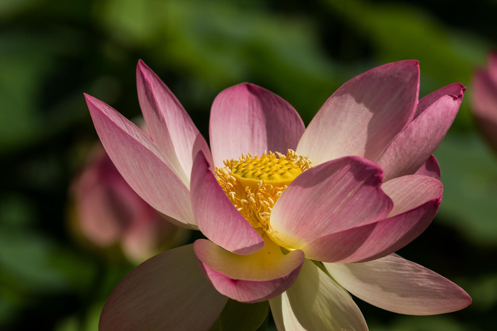 Lotos-Blüten im Arboretum bei Ellerhoop