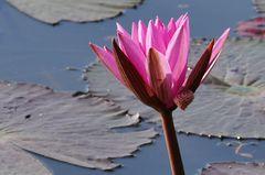 ...Lotos im Angkor Park...