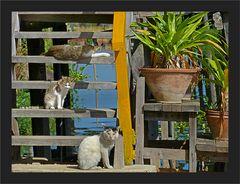 Lotos - Katzen