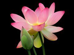 Lotosblüte im Gegenlicht