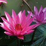 Lotosblüten - Schönheiten am Wegesrand