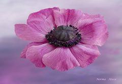 Lottis`Blume