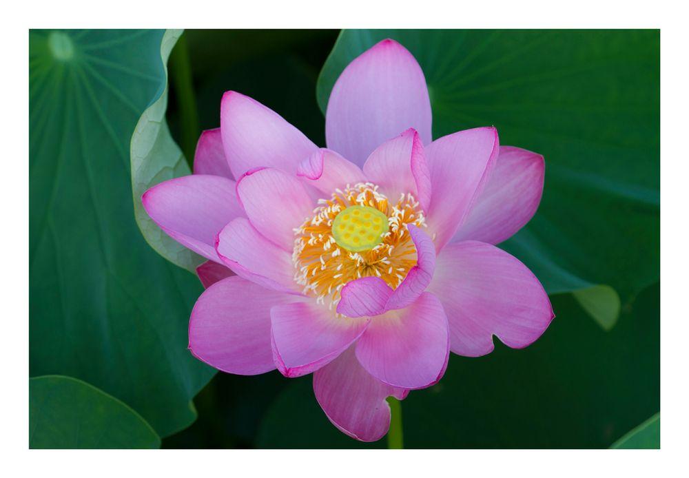 Lotus-10