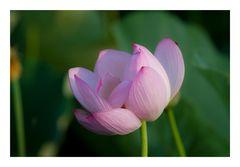Lotus-4