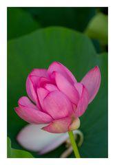 Lotus-9