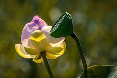 Lotus à Fontmerle