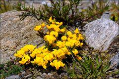 Lotus alpinus