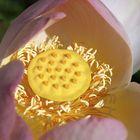 Lotus and the worship of Ra