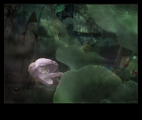 Lotus before Buddha_1