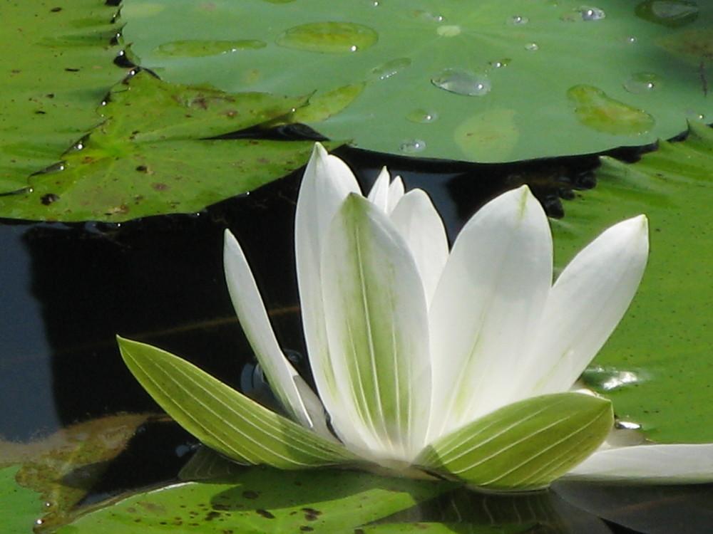 lotus de Malaisie 2