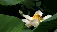 Lotus en fin de floraison - Lotus am Ende der Blüte