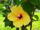 lotus flora-tenerife