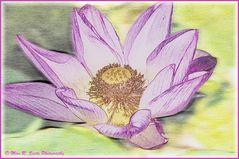 Lotus Flower in Pink