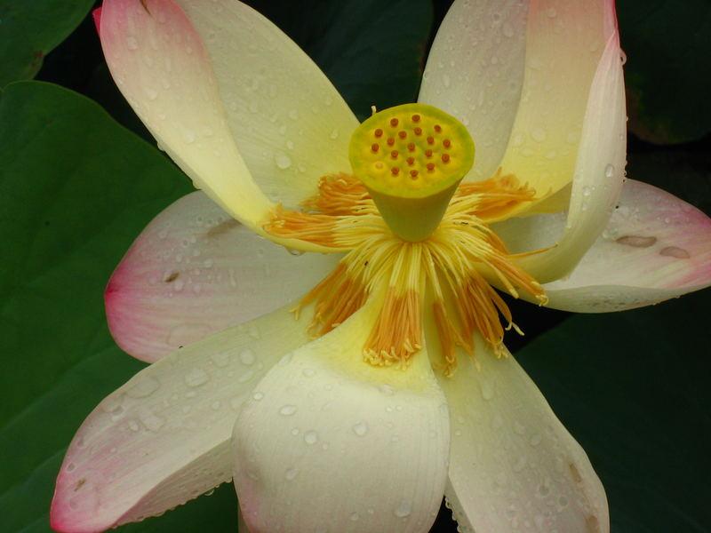 Lotus in der Wilhelma in Stuttgart