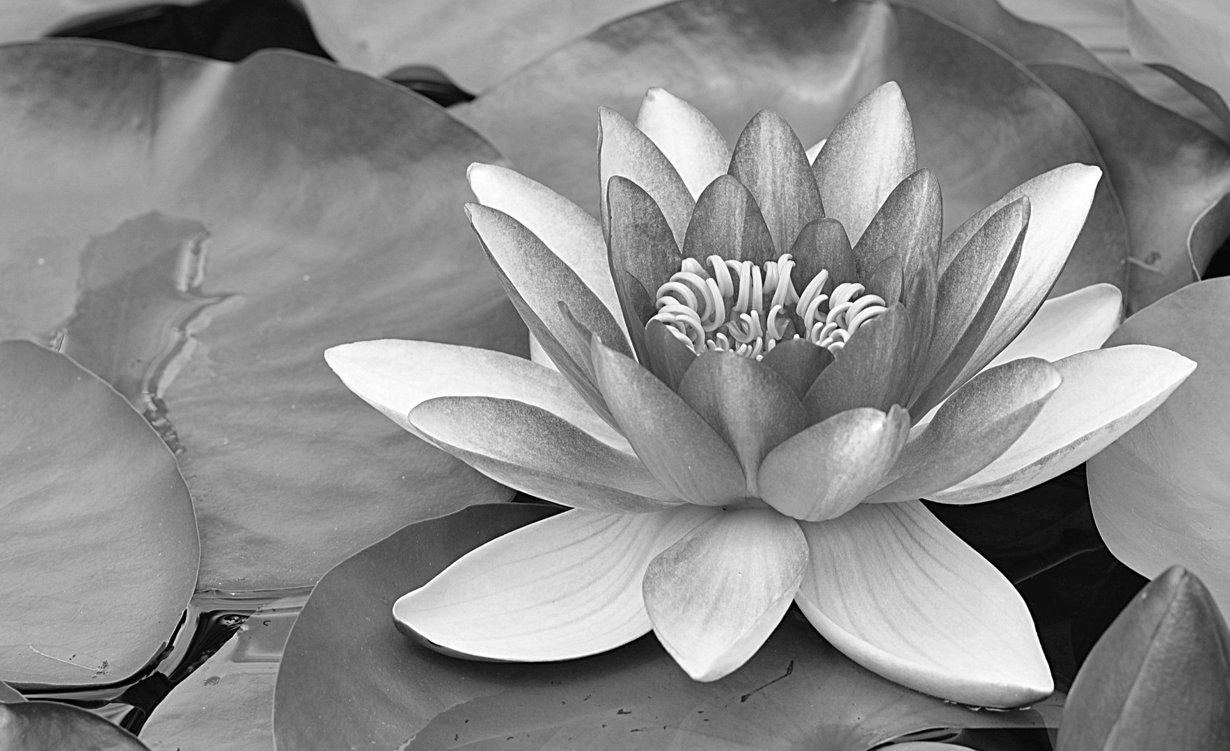 Lotus in s/w