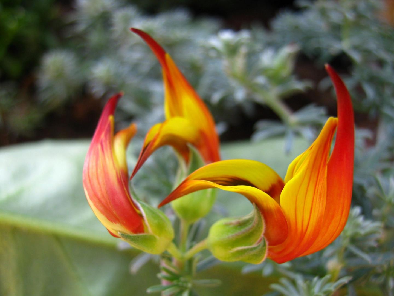 Lotus maculatus