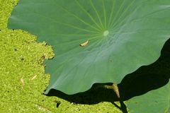 Lotusblatt