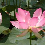 lotusblüte...