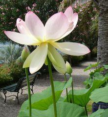 Lotusblüte auf der Isola Madre im Lago Maggiore (2) / Groß wie ein Fußball