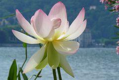Lotusblüte auf der Isola Madre im Lago Maggiore