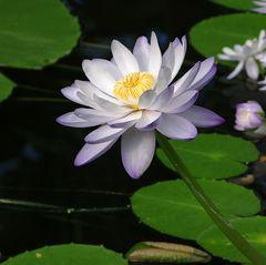 Lotusblüte im Botanischen Garten Bonn