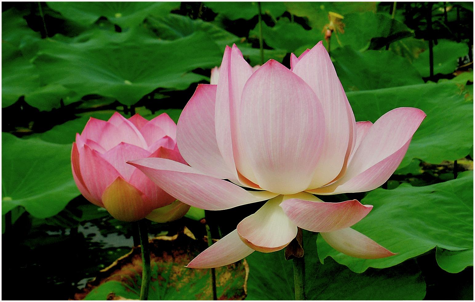 Bildergebnis für lotusblüten bilder