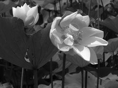 Lotusblumen s/w