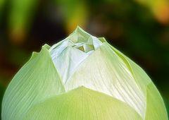 Lotusbud