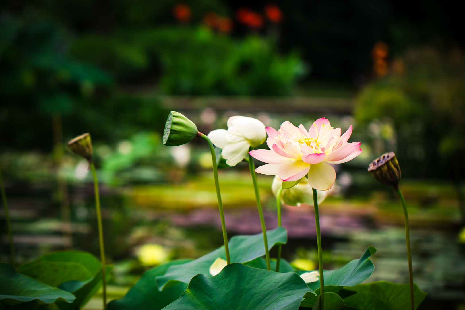 Lotusoase