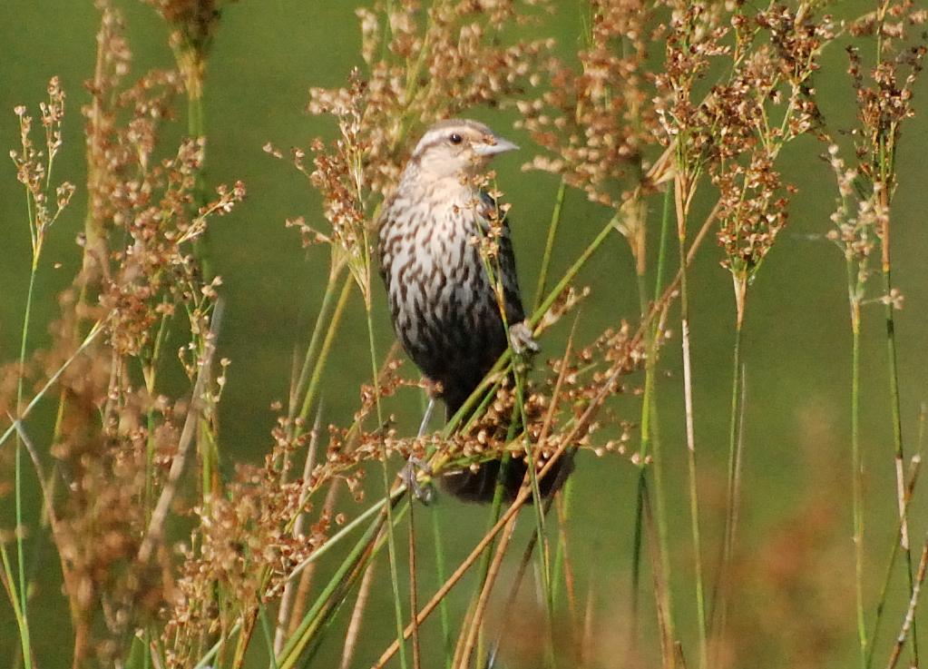 Louisiana Waterthrush (Seiurus motacilla)