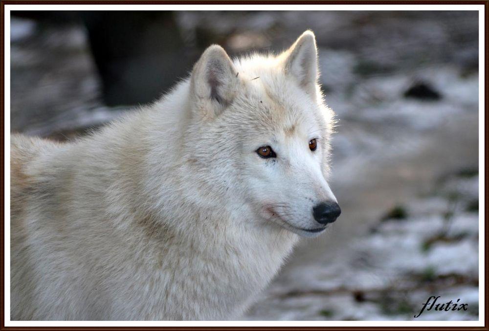 loup blanc photos prises au parc a loups de chabrieres creuse 23 photo et image animaux. Black Bedroom Furniture Sets. Home Design Ideas