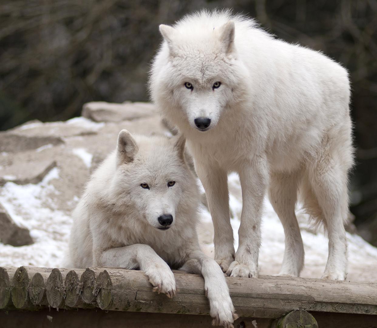 Loups polaires