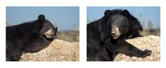 L'ours du Tibet
