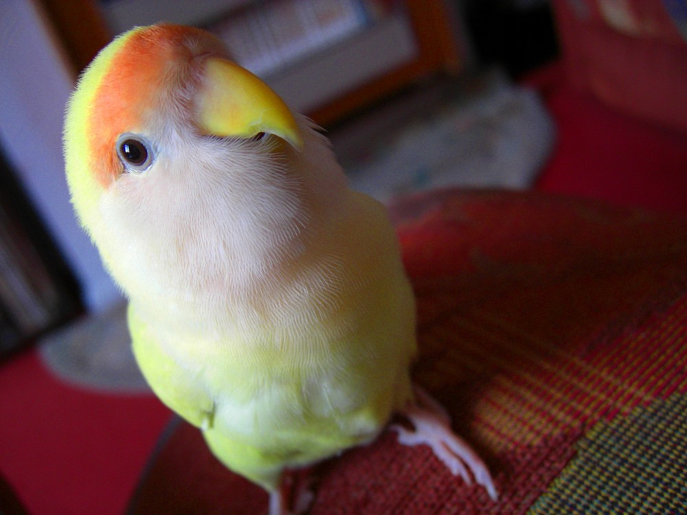 Love bird bluey