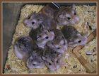lovely hamster