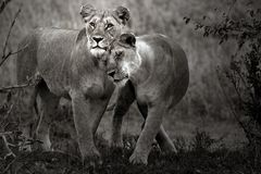 ~ lovely lions ~