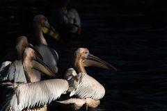 low key Aufnahme von Pelikanen