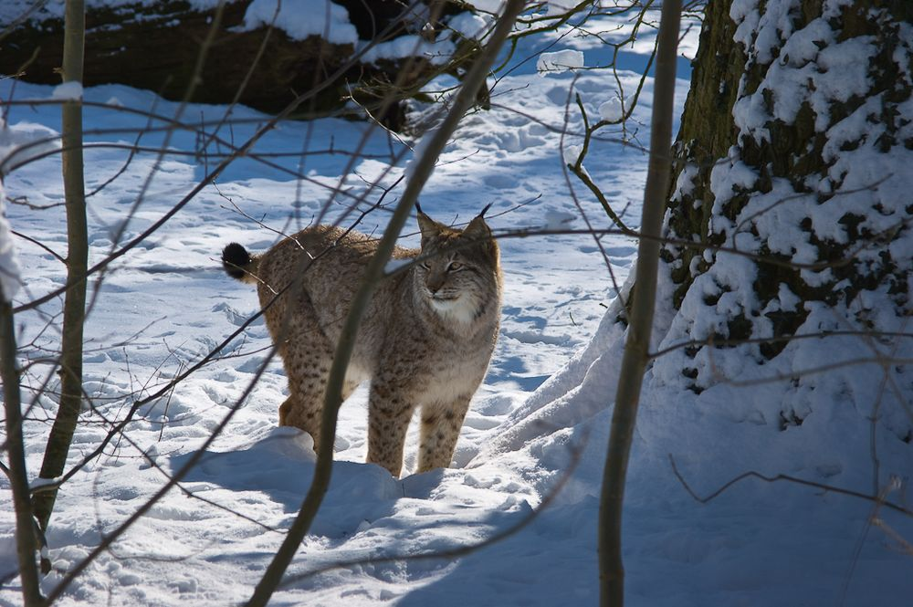 Luchs im Winterwald