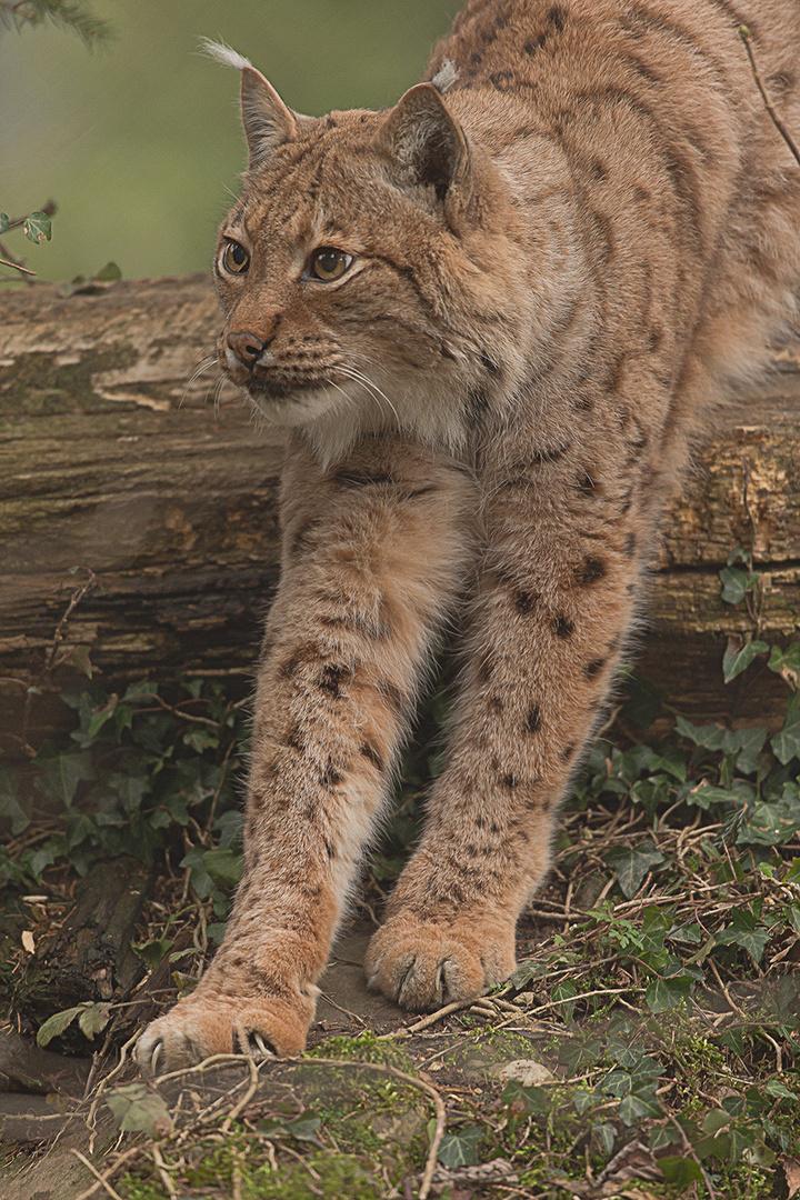 Luchs in Tierpark Goldau No. 1