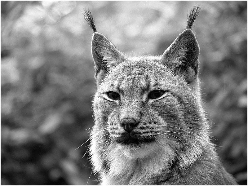 Luchs (Lynx lynx)